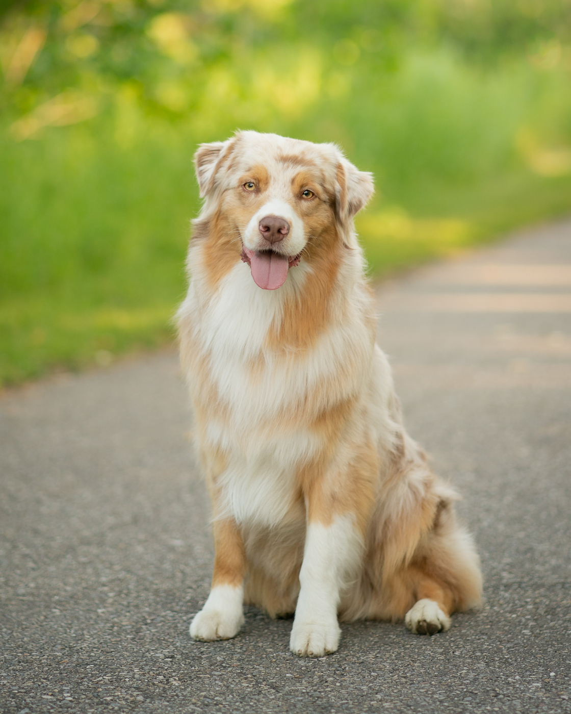 Australian Shepard Calgary Pet Photographer