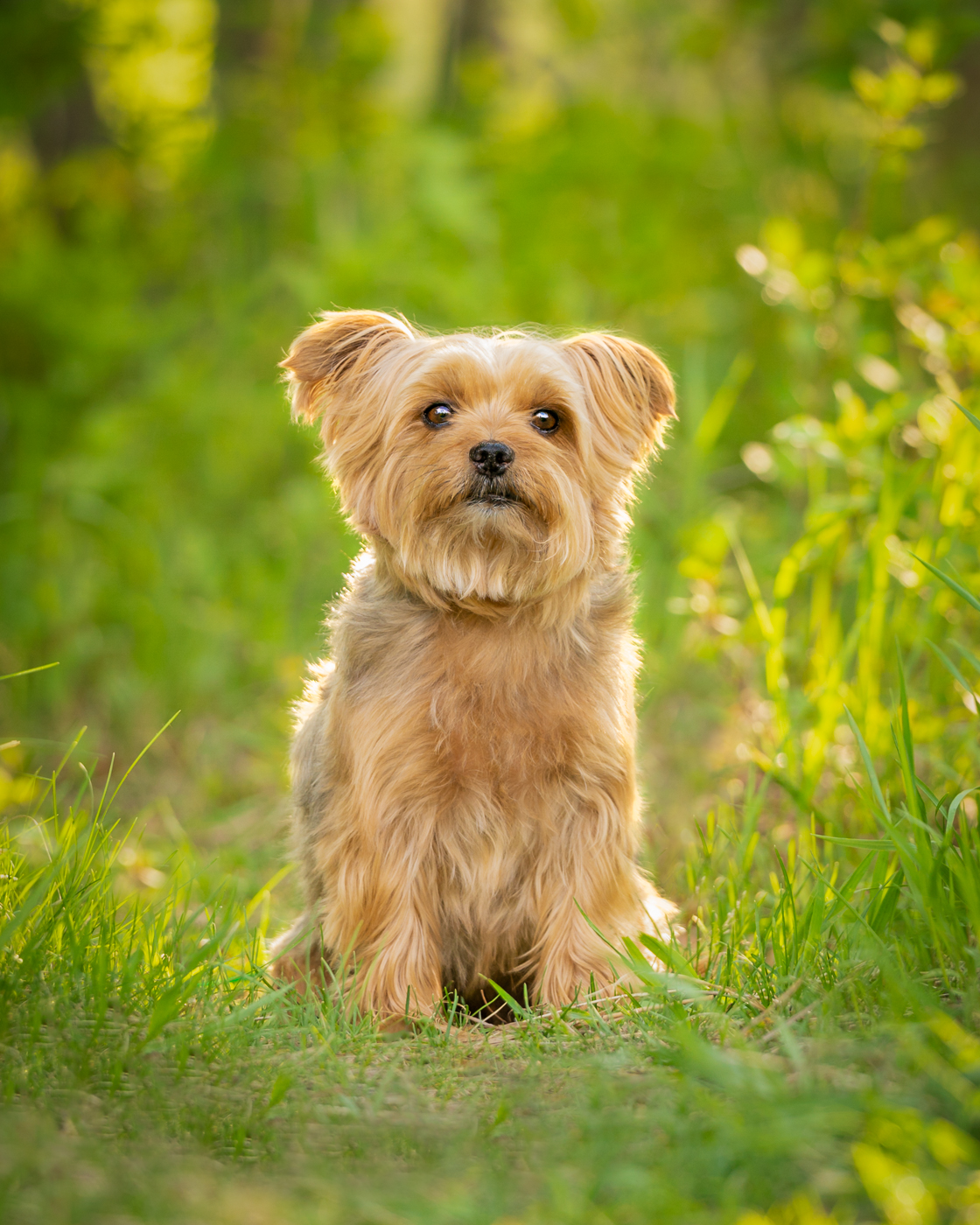 calgary yorkshire terrier dog photographer