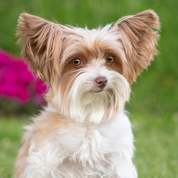 Calgary-Pet-Photographer-yorkie