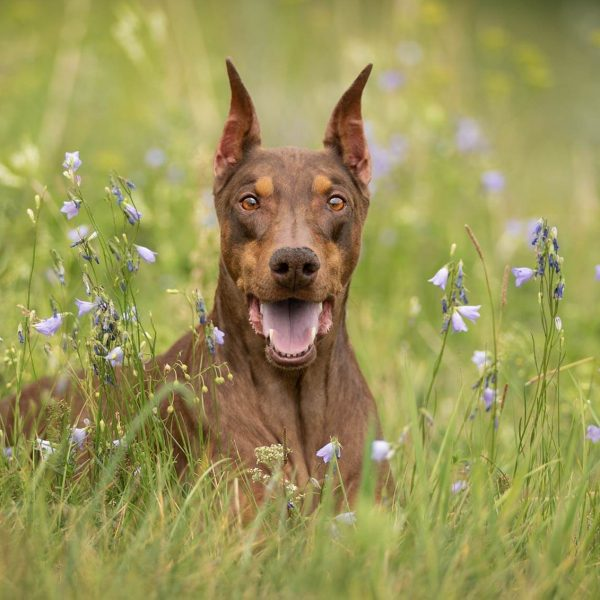 meet-zoe-calgary-doberman